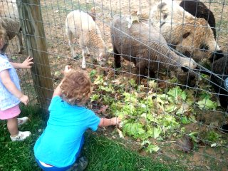 the sheep are happy to get lettuce